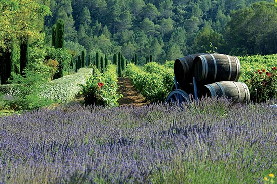 lavender growing in a field in Provence, France.