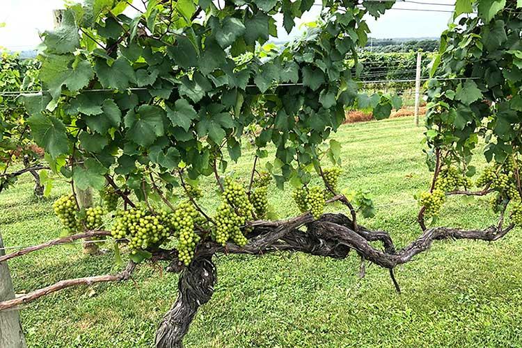 vines at Westport Vineyard Winery