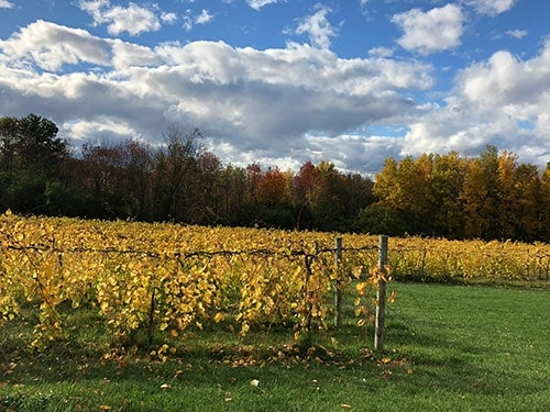 vines at Shelburne Vineyard in the fall.