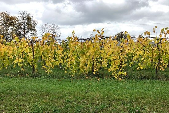 vines at Shelburne Vineyard after harvest.