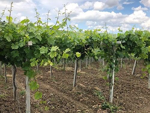 grape vines trained using the pergola trellis system