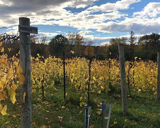 Marquette grape vines at Shelburne Vineyard.