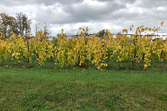 vines at shelburne vineyard.