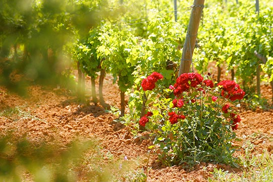 roses at the end of a row of grape vines.