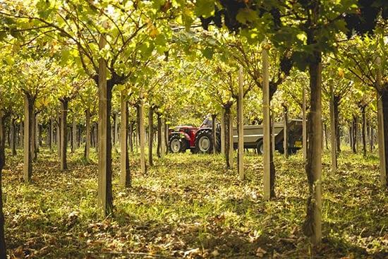 grape vines grown using pergola system.