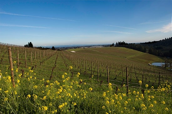 mustard flowers growing in a wine vineyard in the Willamette Valley.