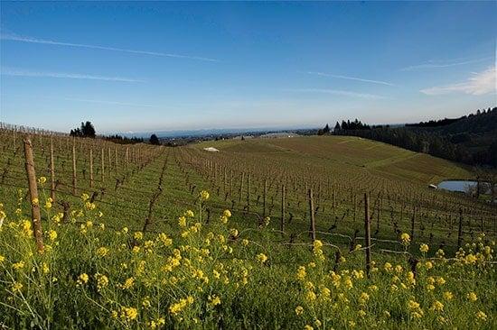 mustard flowers growing in a wine vineyard in the Willamette Valley.
