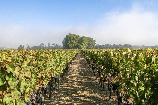 Vines growing at Chateau de Sales in Pomerol.