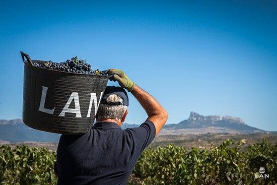 someone carrying grapes at Bodegas LAN.