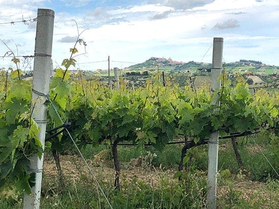grape vines with hill town in distance.