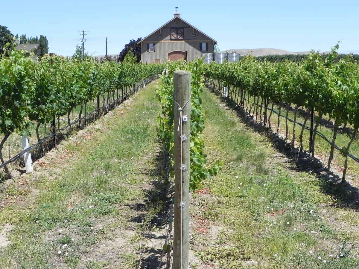 rows of wine grape vines with a barn at the end of the rows.