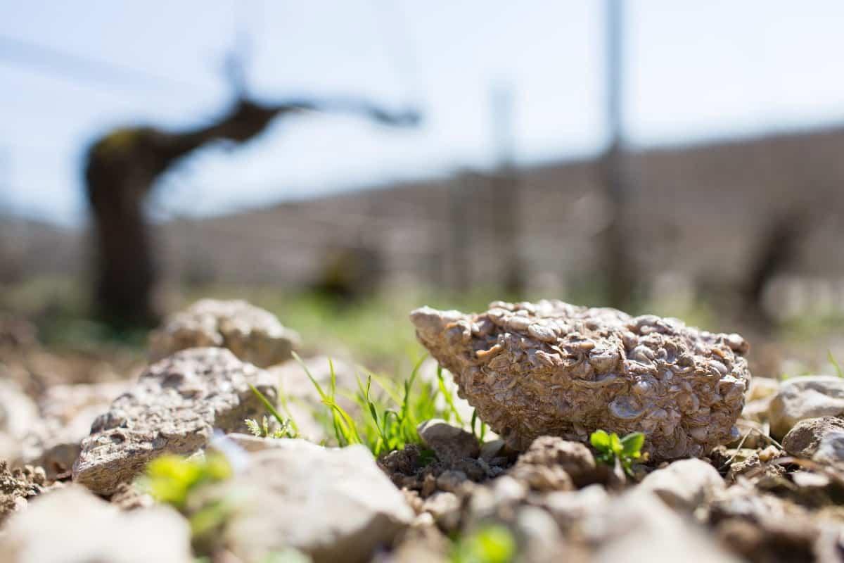 closeup of Kimmeridgean soil from Chablis, France.