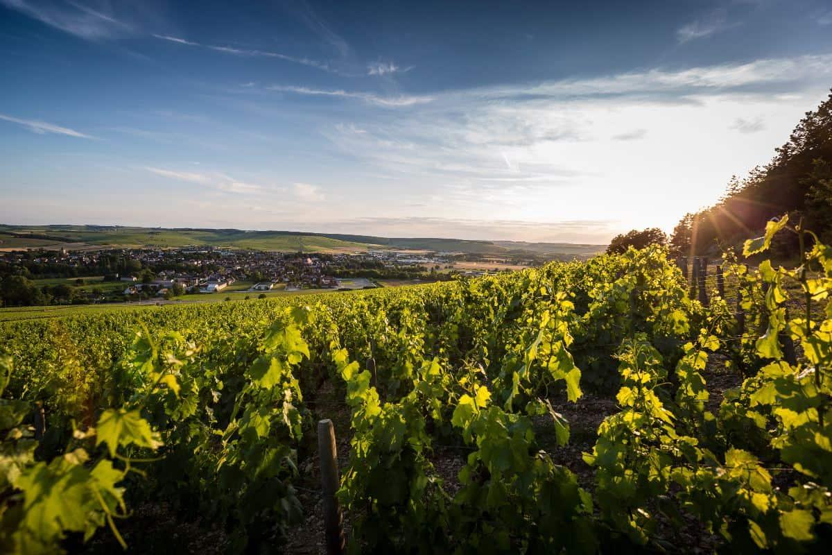 photo of grape vines near the village of Chablis, France.