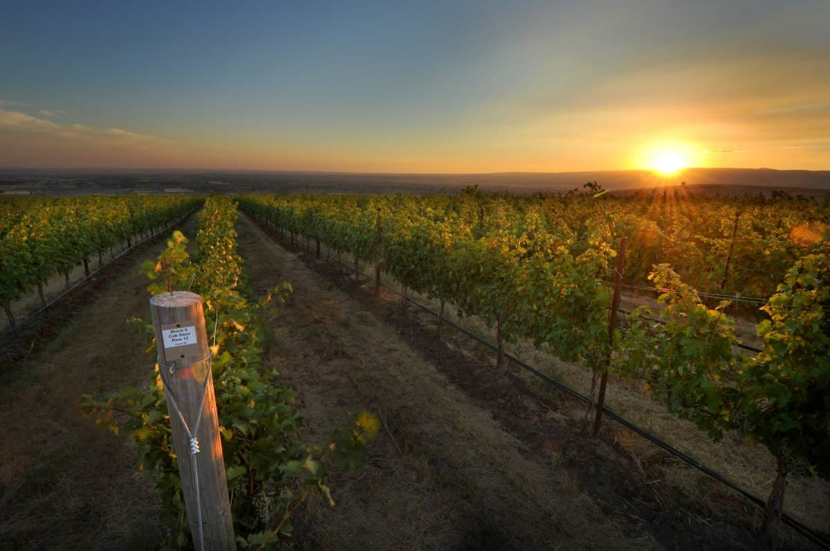 sun set at a vineyard with rows of grape vines.